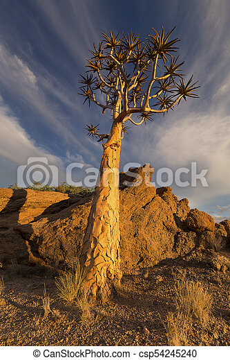Landscape of a Quiver Tree with blue sky and thin clouds in dry desert - csp54245240