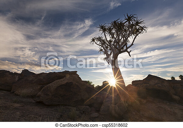 Landscape of a Quiver Tree with sun burst and thin clouds in dry desert - csp55318602
