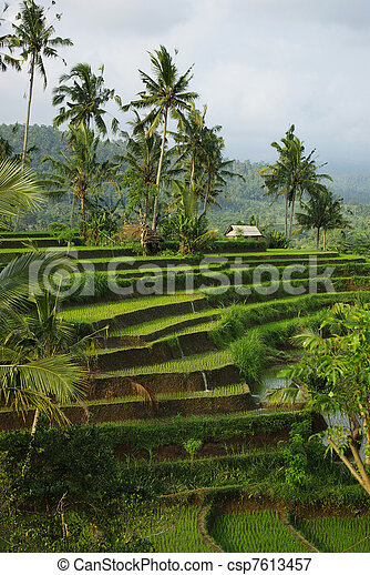 Landscape of young watered ricefiel - csp7613457