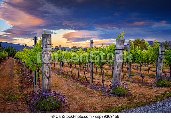 Landscape view of beautiful vintage vineyard during colorful sunset, New Zealand - csp79369456