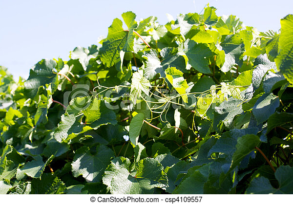 landscape vineyard - csp4109557