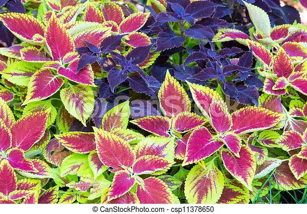 Wybitny Landscaping, kwiat. Roślina, purpurowy, pokrzywka, closeup ZO69