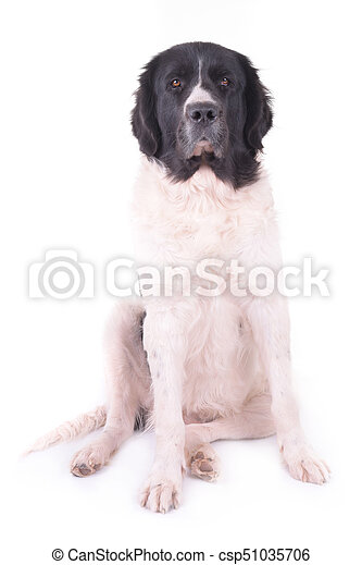 landseer in front of white background - csp51035706