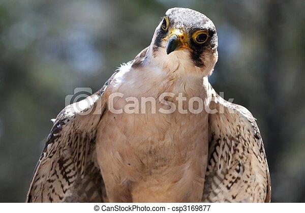 Lanner Falcon Raptor Bird - csp3169877