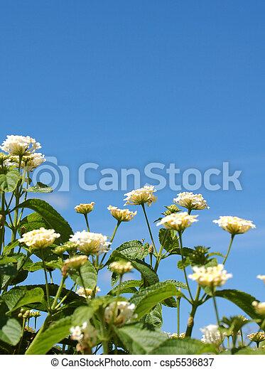 lantana flowers against blue sky - csp5536837