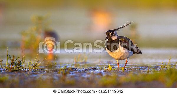 lapwing, norte, habitat, cores, morno, wetland - csp51119642