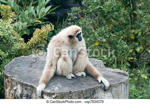 Lar Gibbon - csp7834379