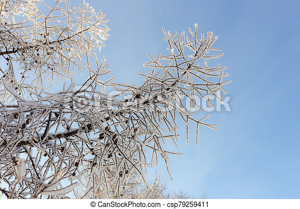 larch in hoarfrost - csp79259411