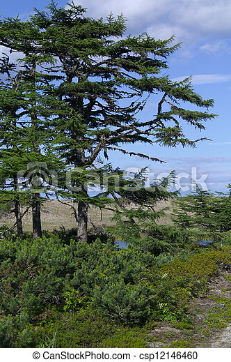 larch tree on a sunny day - csp12146460