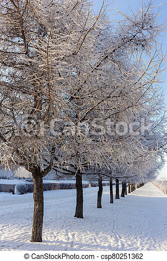larches in hoarfrost - csp80251362