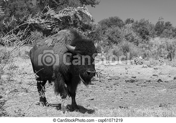 Large American Bison or Buffalo walking in black and white - csp61071219