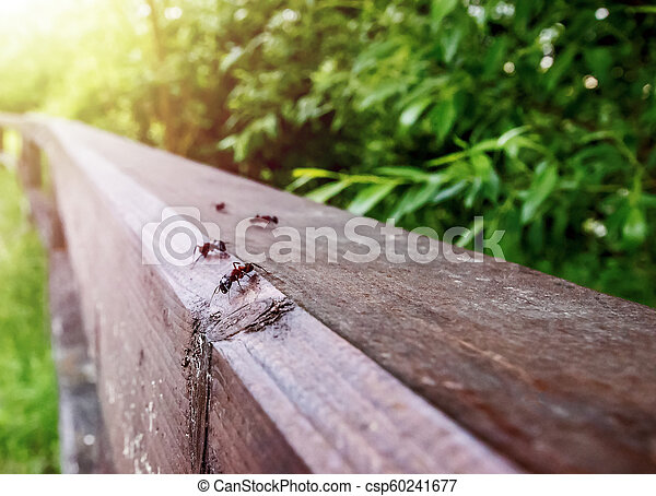 large ants crawl on wooden rails, close-up - csp60241677