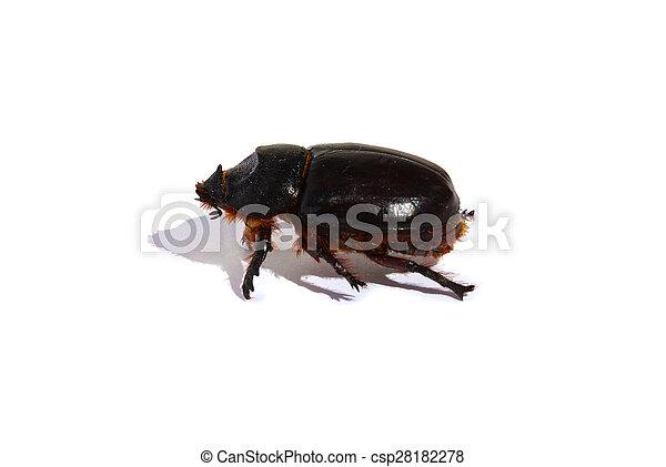 Large black beetle isolated - csp28182278