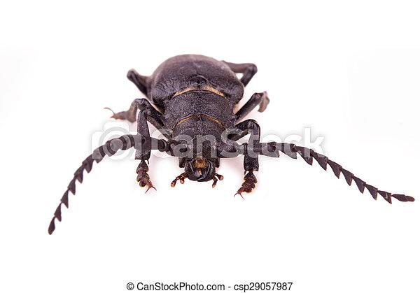 large black beetle - csp29057987