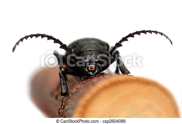 large black beetle - csp2604086