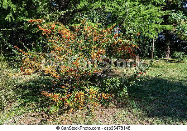 Large Bush With Orange Berries Large Bush With Orange Berries In