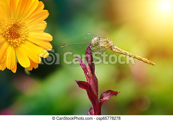 Large dragonfly illuminated by the sun - csp65778278