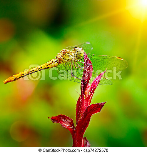 Large dragonfly illuminated by the sun - csp74272578