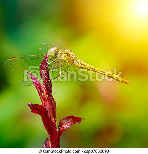 Large dragonfly illuminated by the sun - csp87862690