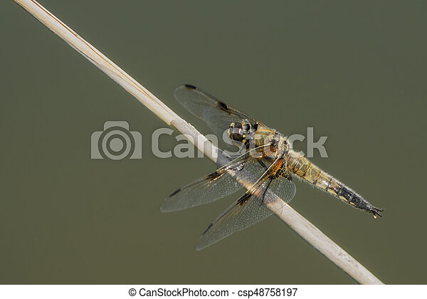 Large dragonfly on a small branch - csp48758197