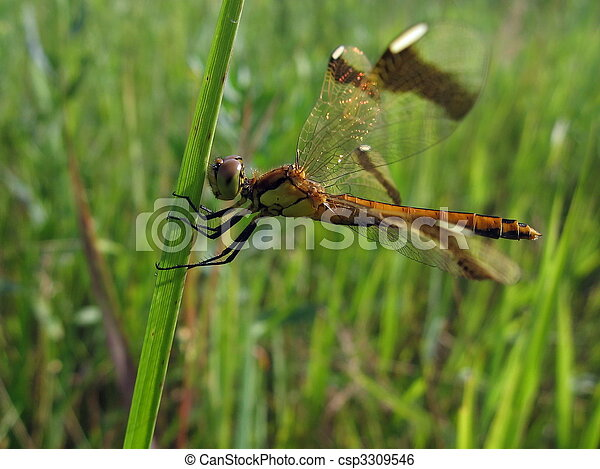 Large dragonfly on grass - csp3309546