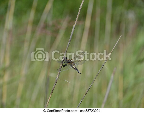 large dragonfly - csp88723224