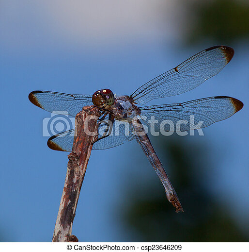 Large dragonfly - csp23646209
