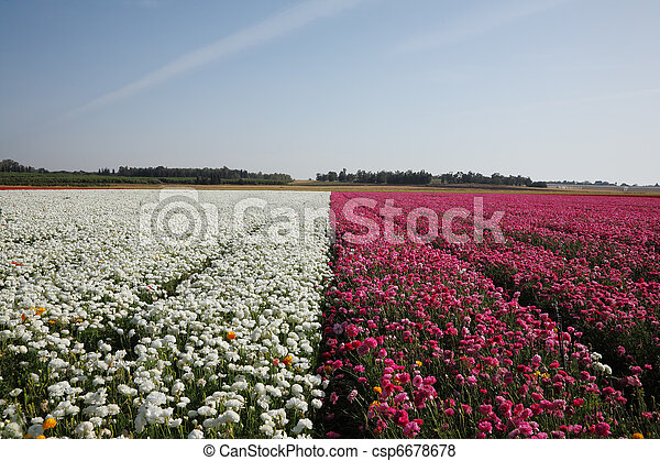 Large field of flowers  - csp6678678