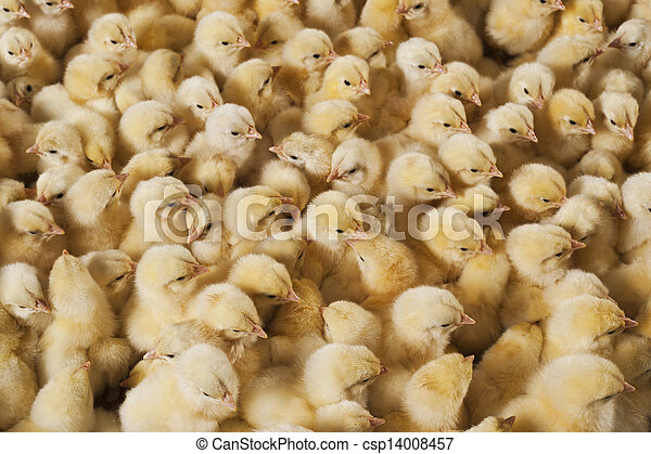 Large group of baby chicks on chicken farm - csp14008457