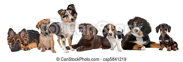 large group of puppies on a white background. from left to right, German Shepherd, mixed breed pug, shetland sheepdog, chocolate Labrador, Beagle, Bernese Mountain dog and a miniature Dachshund - csp5841219