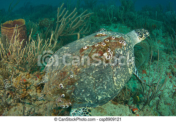 Large Hawksbill Sea Turtle on a coral reef - csp8909121