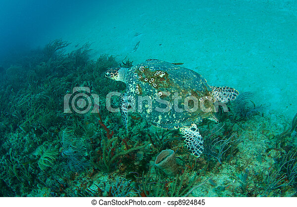 Large Hawksbill Sea Turtle on a coral reef - csp8924845