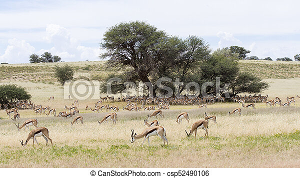 Large herd of springbok resting in the shade of  big camelthorn tree - csp52490106