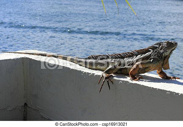Large Iguana in Florida - csp16913021
