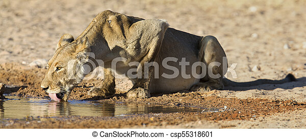 Large lioness drinking water from a small pool in the Kalahari on hot dry day - csp55318601