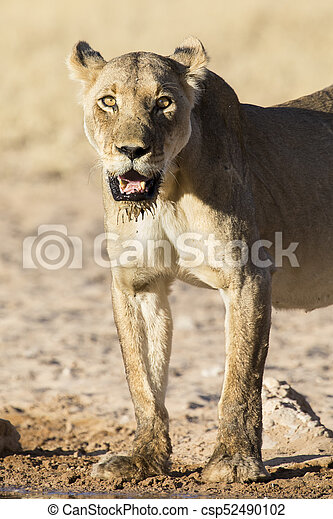 Large lioness standing up after drinking water from a small pool in Kalahari - csp52490102