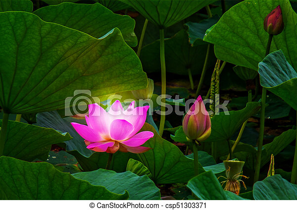 Large lotus flowers bright pink buds of lotus flower picture large lotus flowers bright pink buds of lotus flower floating in the lake mightylinksfo Image collections