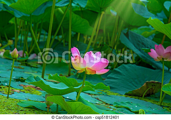 Large lotus flowers bright pink buds of lotus flower stock large lotus flowers bright pink buds of lotus flower floating in the lake mightylinksfo