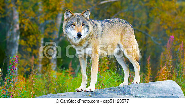 Large male grey wolf standing on a rock in the forest - csp51123577