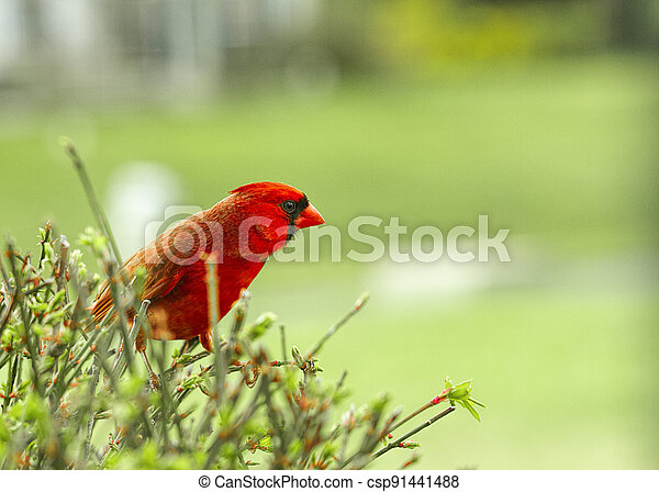 Large Northern Red Cardinal being cautious while perched on a bush - csp91441488