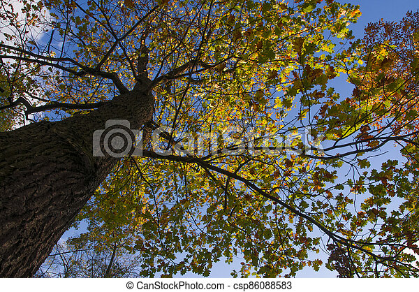 Large oak tree with yellow autumn leaves on a blue sky background - csp86088583