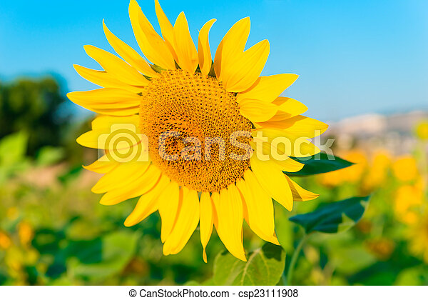 large picture of a sunflower against the sky - csp23111908