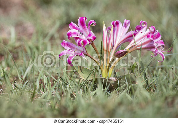 Large pink flower close-up in early morning sun - csp47465151