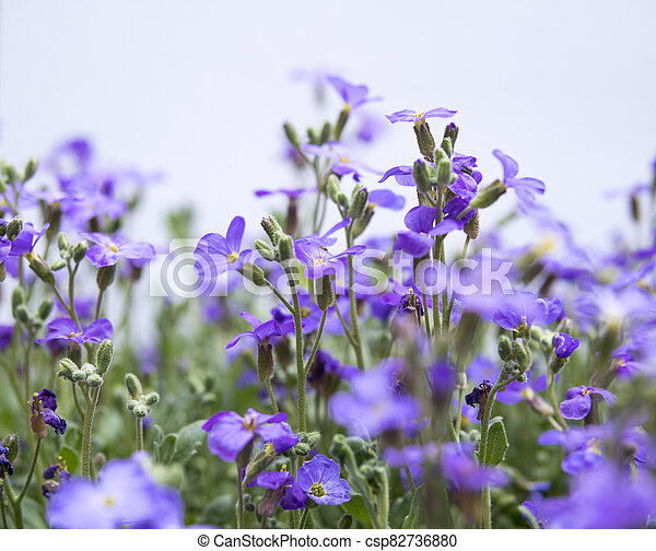 large quantity of small purple flowers - csp82736880