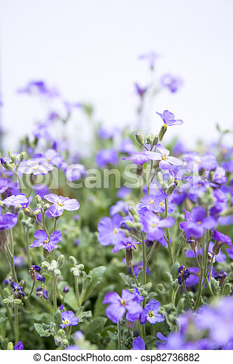 large quantity of small purple flowers - csp82736882