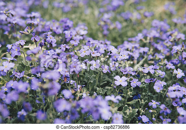 large quantity of small purple flowers - csp82736886