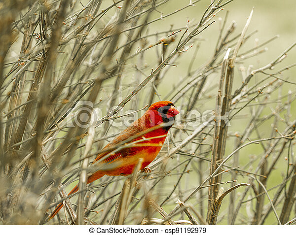 Large red cardinal in branches on a bush. Nature image - csp91192979