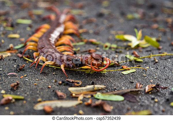 Large red centipede - csp57352439