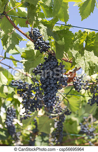 large ripe bunch of grapes on the branches - csp56695964