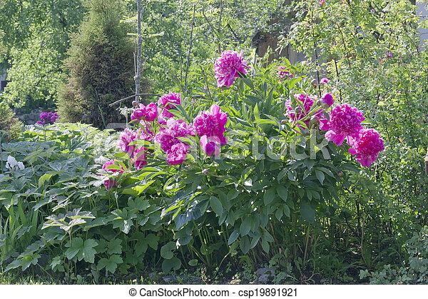 Large shrub pink peonies in a rustic european garden backlight large shrub pink peonies csp19891921 mightylinksfo